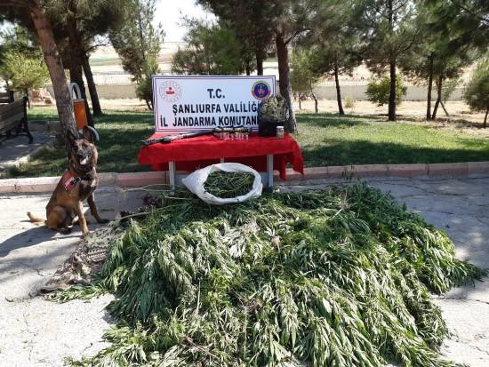 Şanlıurfa'da 512 kök kenevir ele geçirildi