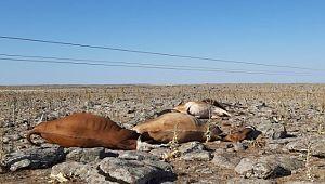 Şanlıurfa'da elektrik akımına kapılan 5 inek telef oldu