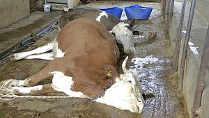 Elektrik akımına kapılan inekler telef oldu