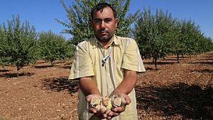Şanlıurfa'da badem yetiştiriciliği gelişti