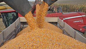 Devasa işletmede mısır hasadı başladı