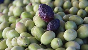 Şanlıurfa'da zeytin hasadı devam ediyor