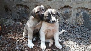 Anneleri telef edilen köpeklere kaymakam sahip çıktı