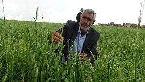 Şanlıurfa'da dolu yağışı ekili arazileri vurdu