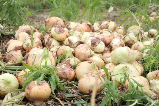 Geçen yıl 6 liraya satılan soğan 50 kuruşa kadar düştü (Video)