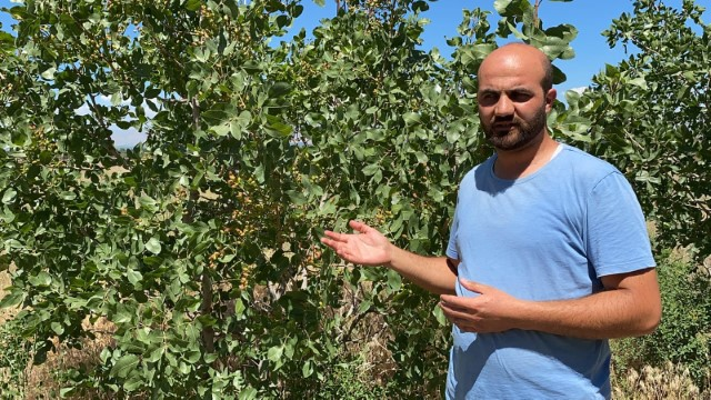 Genç öğretmen, Aralık rüzgar erozyonunda Antep fıstığı yetiştirdi (Videolu Haber)