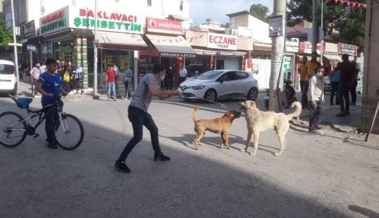 Köpekler birbirine zarar vermesin diye kendini tehlikeye attı