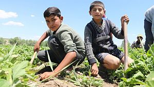Tarım işçisi çocuklar tatillerini çalışarak geçiriyor (Videolu Haber)