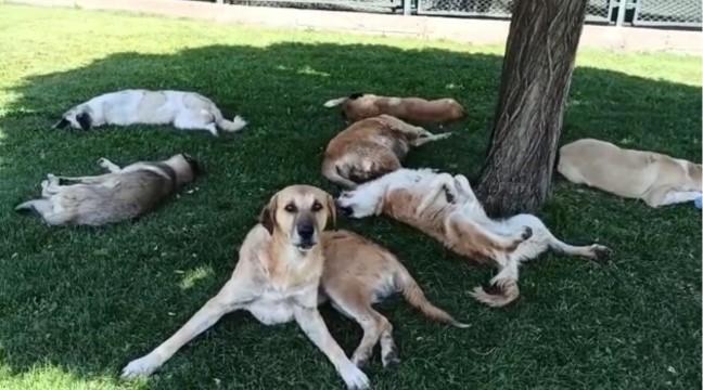 Köpek sürüsünü görüntülemek isterken hayatının şokunu yaşadı (Video)