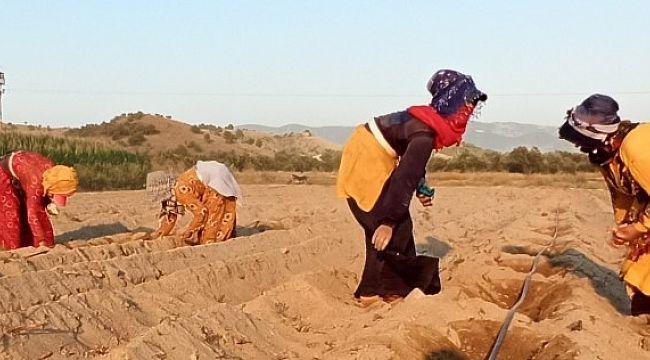 Ödemiş'te Urfalı Mevsimlik tarım işçilerinin zorlu mesaisi (viideo)