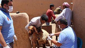 Türk veterinerler Suriye'deki hayvanları aşılıyor (Videolu Haber)