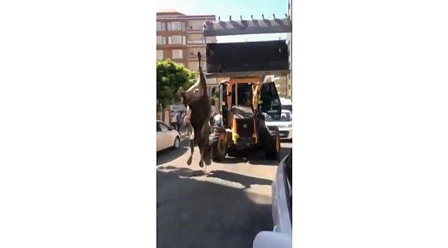 Danayı iple ayağından iş makinesine bağlayıp kesime götürdüler (Video)
