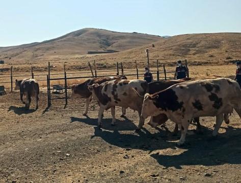 Elazığda çalınan hayvanlar Siverek'te bulundu