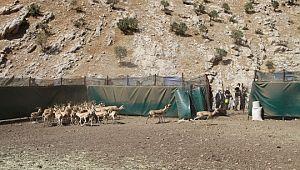 Şanlıurfa'dan götürülen 50 ceylan Cudi Dağı'na bırakıldı (Video)