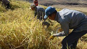 Siverek'te çeltik hasadına başlandı (Videolu Haber)