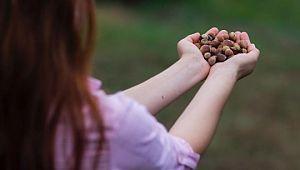 ILO-Ferrero ortaklığı Türkiye'de fındık hasadında çocuk işçiliğini ortadan kaldırmayı hedefliyor