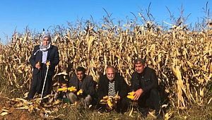 Şanlıurfa'da mısır tarlada kaldı (Videolu Haber)