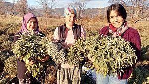 Korona virüs adaçayına ilgiyi arttırdı, çiftçiler ürün yetiştiremiyor