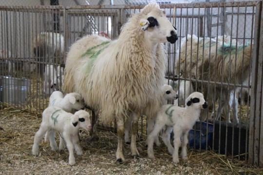 Yerli ve milli koyunlar dördüz yavruladı