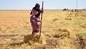 Siverek'te mercimek hasadına başlandı