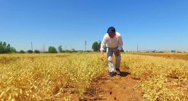 Şanlıurfa'da 'Ubet' nohut hasadı başladı (Video Haber)