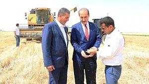 Yalçınkaya, çiftçilerle birlikte buğday hasadı yaptı