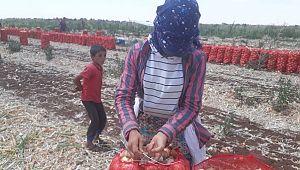 Soğan bu yıl Şanlıurfa'da çiftçiyi üzdü ( Video Haber )