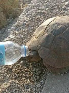 Susuzluktan bitkin düşen kaplumbağaya eliyle su içirdi ( Video Haber )