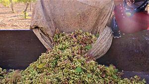 Şanlıurfa'da boz fıstık hasadı başladı ( Video Haber )