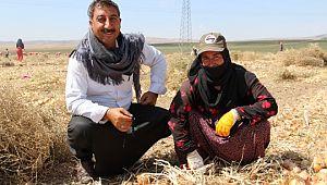 Başkent'te soğan hasadı başladı, tarlalar kırmızıya büründü ( Video Haber )
