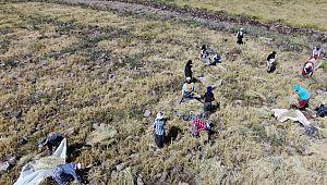Karacadağ pirincinin zorlu hasadı başladı ( Video Haber )