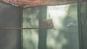 Tedavisi tamamlan peçeli baykuşlar doğaya salındı ( Video Haber )