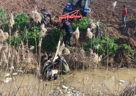Tahliye kanalına düşen inek traktörle çıkartıldı