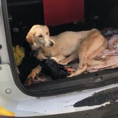 Siverek'te yaralanan köpek ticari taksi ile İstanbul'a gönderildi