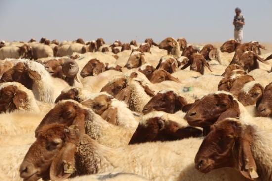 Koçlarla koyun koyuna