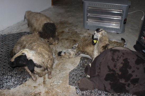 Siverek'te ahırı su bastı, hayvanlar telef oldu