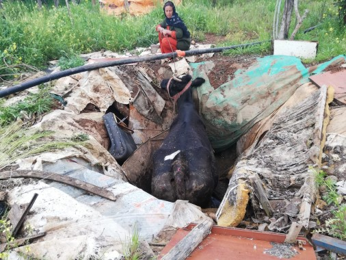 Foseptik çukuruna düşen inek kepçe yardımıyla saatler sonra kurtarıldı
