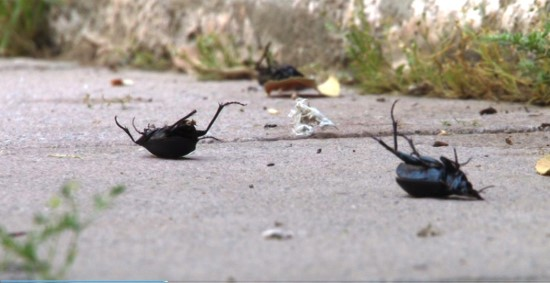 Siyah böcekler Şanlıurfa'yı esir aldı