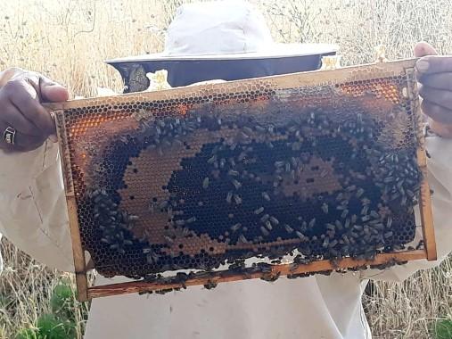 Arılar bal peteğine ay yıldız çizdi